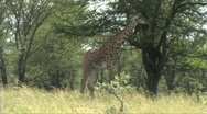 Stock Video Footage of Giraffe standing