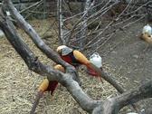 Beautiful pheasant Stock Footage