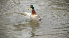 Duck playing in water Stock Footage