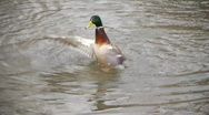 Stock Video Footage of Duck playing in water