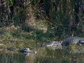 Stock Video Footage of Alligator swims in Everglades National Park