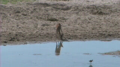 Impala drinking Stock Footage