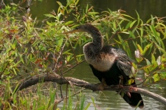 Ahinga sitting on branch in everglades Stock Footage