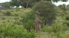 Stock Video Footage of Giraffe walking and feeding