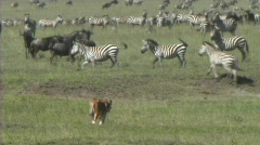 Lioness walking - stock footage