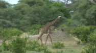 Stock Video Footage of Giraffe walking and feeding