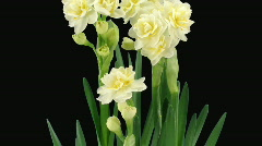 "Time-lapse of growing narcissus ""Erlicheer"" flowers alpha matte 1 Stock Footage"