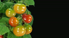 Time-lapse of growing and ripening tomato with alpha matte 3 Stock Footage