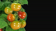 Stock Video Footage of Time-lapse of growing and ripening tomato with alpha matte 3