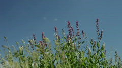 Blue wildflower on a wind - stock footage