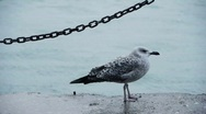 Seagull by sea Stock Footage
