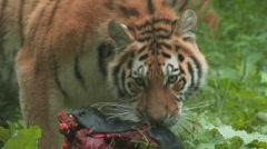 Siberian Tiger Cub Samples his Kill Stock Footage