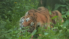 Handsome young Siberian Tiger Eats his Prey Stock Footage