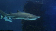 Stock Video Footage of Sharks Swimming 05