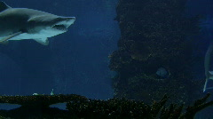 Sharks Swimming 04 - stock footage