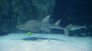 Shark Ray Swimming 02 Stock Footage