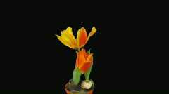 "Time-lapse of opening orange ""Flair"" tulip with alpha matte 1 Stock Footage"
