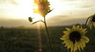 Sunflower Magic Stock Footage