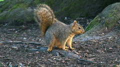 Curious Squirrel Stock Footage