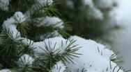 Stock Video Footage of Gentle snow falling on pine branch