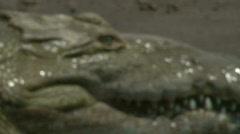 Wild River Crocodiles Costa Rica Tarcoles River 07 Stock Footage