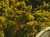 Stock Video Footage of grapes auger 03