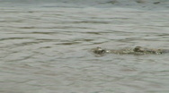 Wild River Crocodiles Costa Rica Tarcoles River 23 Stock Footage
