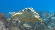 Stock Video Footage of Sea turtle swimming toward camera