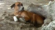 Stock Video Footage of beach dog 02