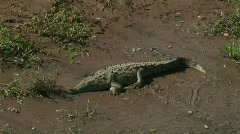 Wild Roadside Crocodiles Costa Rica Tarcoles River 09 Stock Footage
