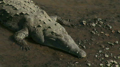 Wild Roadside Crocodiles Costa Ric Tarcoles Rivera 15 Stock Footage