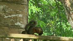 Neighbor Squirrel - Costa Rica - 02 Stock Footage