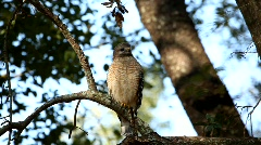 Red-shouldered Hawk turn around 4505 - stock footage