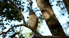 Red-shouldered Hawk front 4504 - stock footage