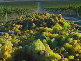 Stock Video Footage of hauling grapes 02