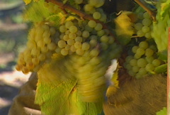 Picking grapes 04 Stock Footage