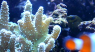 Coral in the aquarium with nemo swimming arround Stock Footage