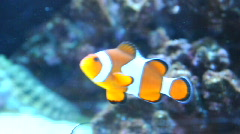 Nemo clownfish in the aquarium - stock footage