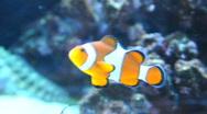 Nemo clownfish in the aquarium Stock Footage