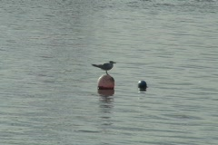 Seagull on buoy Ponce Bay Puerto Rico Stock Footage
