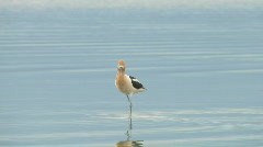 Avocets Stock Footage