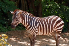 Zebra standing in front of wooded area Stock Footage