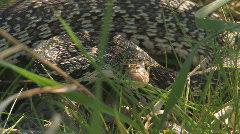Big snake hides out in the grass Stock Footage