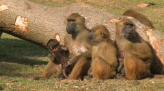 Guinea Baboon Monkey Family - stock footage
