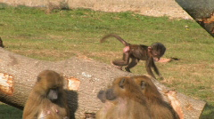 Monkey Family playing in the sun. Guinea Baboons enjoying a sunny day, - stock footage