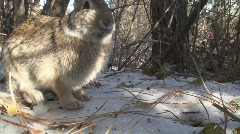 P00887 Bunny Rabbit in Forest Stock Footage
