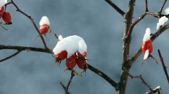 Red berries under snow Stock Footage