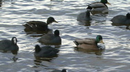 Group of ducks float on choppy water Stock Footage