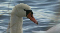 Swan's head close Stock Footage