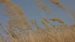 Ripe spikes of shorthear (Poaceae, Calamagrostis  epigeios) swaying in the stron Stock Footage